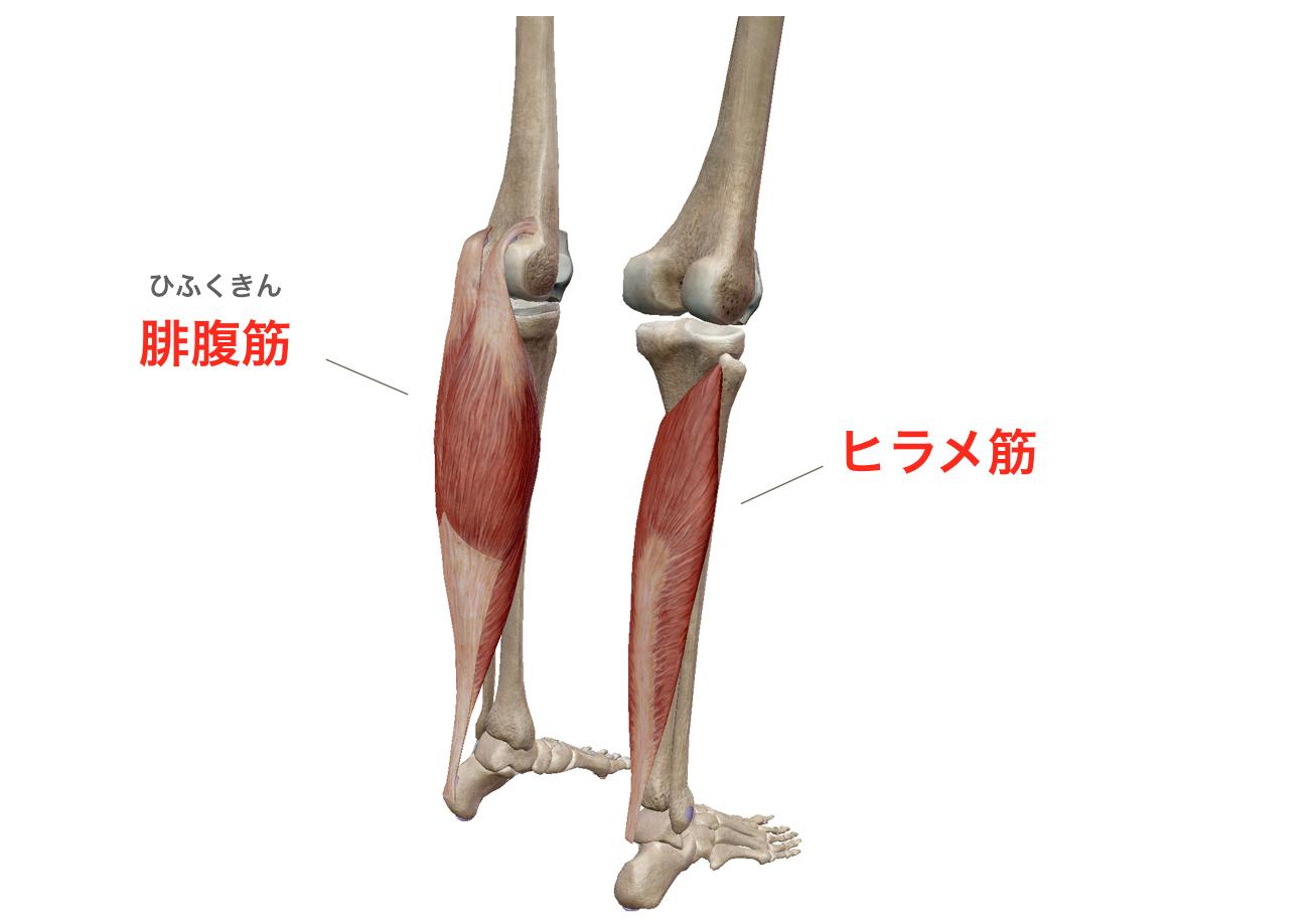 ヒラメ筋 腓腹筋 足首 筋肉
