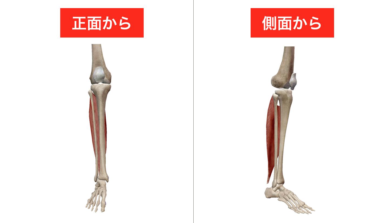 ヒラメ筋 腓腹筋 足首の柔軟性 可動域