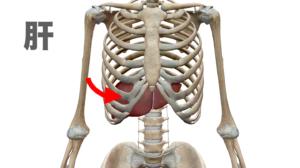 胃 肝臓 腎臓 内臓反射 猫背