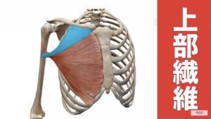 大胸筋上部の解剖図