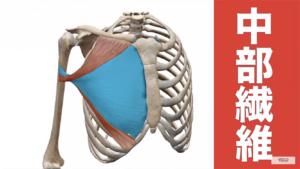大胸筋中部の解剖図