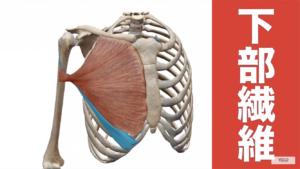 大胸筋下部の解剖図